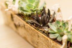 Disposizione dei fiori succulenti in un vaso di legno Fotografia Stock