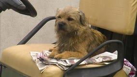 Disposizione dei posti a sedere del cane su una sede di automobile stock footage