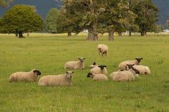Disposizione dei posti a sedere delle pecore del bambino sul vetro verde Immagine Stock Libera da Diritti