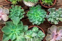 Disposizione dei succulenti o del cactus su fondo di legno Immagine Stock Libera da Diritti