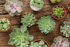 Disposizione dei succulenti o del cactus su fondo di legno, overhe Immagine Stock Libera da Diritti