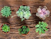 Disposizione dei succulenti o del cactus su fondo di legno, overhe Fotografie Stock Libere da Diritti