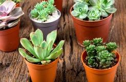 Disposizione dei succulenti o del cactus su fondo di legno, overhe Immagini Stock