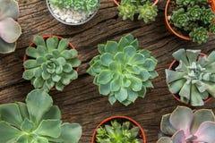 Disposizione dei succulenti o del cactus su fondo di legno, overhe Immagini Stock Libere da Diritti