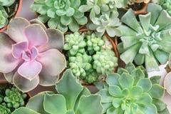 Disposizione dei succulenti o succulenti del cactus, spese generali o cima Immagini Stock Libere da Diritti