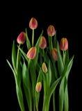 Disposizione dei tulipani Immagini Stock Libere da Diritti