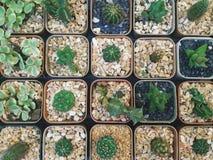 Disposizione dei vasi del cactus Fotografie Stock