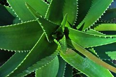 Disposizione del punto di vista sopraelevato o superiore dei succulenti o dei succulenti del cactus, Fotografia Stock