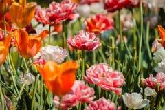 Disposizione di Frederik Meijer Gardens dei tulipani e delle peonie su esposizione un giorno di molla immagini stock