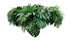 Disposizione floreale delle foglie del fogliame della pianta del cespuglio tropicale della giungla nazionale fotografia stock