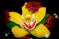 Disposizione gialla dell'orchidea con i fiori rossi Immagine Stock Libera da Diritti