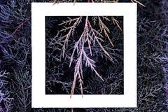 Disposizione piana del fondo rosa magenta blu magico fantastico dei rami di legno di pino di colore con la struttura bianca sulla fotografia stock