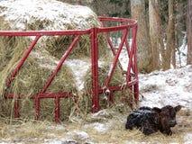 Disposizioni del vitello da Hay Ring immagine stock libera da diritti