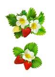 Disposizioni delle fragole con i fiori, le bacche e le foglie Immagine Stock