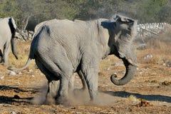 Disputa del elefante, parque nacional de Etosha, Namibia Imágenes de archivo libres de regalías