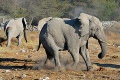Disputa del elefante, parque nacional de Etosha, Namibia Imagen de archivo libre de regalías