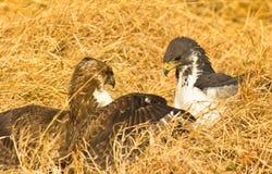 A disputa dos Buzzards do Augur Imagens de Stock
