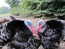 Dispute between the two turkeys Royalty Free Stock Image