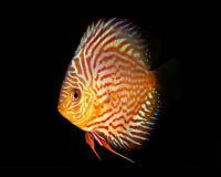 Disque de Symphysodon dans l'aquarium Images stock