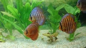 Disque - espèces tropicales de poissons d'aquarium Photos libres de droits