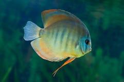 Disque rayé dans l'aquarium Photographie stock libre de droits