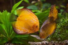 Disques de Colorfull dans l'aquarium photographie stock libre de droits