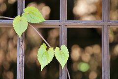 Disrepair pane. Vine plant grown dependent on the dilapidated of pane Stock Photography