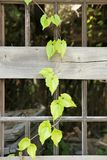 Disrepair pane. Vine plant grown dependent on the dilapidated of pane Stock Images