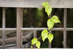 Disrepair pane. Vine plant grown dependent on the dilapidated of pane Royalty Free Stock Images