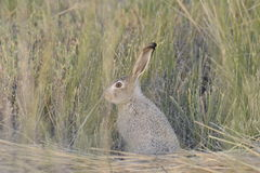 Disrupted. A Jack Rabbit watches after I disturbed it from its morning hiding place royalty free stock image