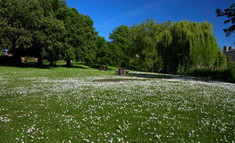 Diss Town Park Field of Daisies. In the middle of summer that white daisies are in full bloom casting a white blanket of the green field. Diss Town is located in stock image