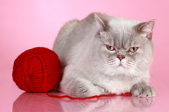Dissatisfied British cat Stock Images