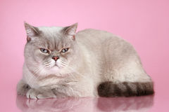 Dissatisfied British cat Royalty Free Stock Photos
