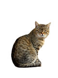 Dissatisfied with the cat sitting isolated Royalty Free Stock Photo