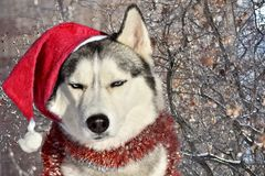 Dissatisfied dog of Siberian husky breed sits in a Santa Claus. Hat and Christmas tree garland on a background of winter nature Royalty Free Stock Photos