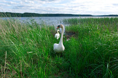 Dissatisfied swan Royalty Free Stock Photography
