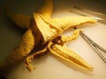 Dissecando uma estrela de mar Foto de Stock Royalty Free