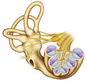 Dissection cochlea Stock Image