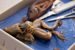 Dissection of frog and fish Royalty Free Stock Photography