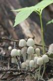 Disseminatus чернильного гриба грибов на пне Стоковое фото RF