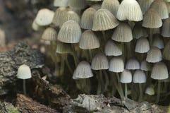 Disseminatus чернильного гриба грибов на пне Стоковые Изображения