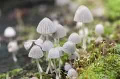 Disseminatus чернильного гриба грибов на пне Стоковая Фотография