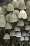 Disseminatus чернильного гриба грибов на пне Стоковое Фото