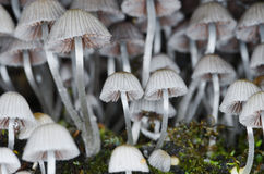 Disseminatus Coprinellus Στοκ φωτογραφία με δικαίωμα ελεύθερης χρήσης