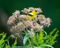 Dissimulation étée perché/de repos de chardonneret dans le wildflower dans la réserve nationale de vallée du Minnesota - à l'extr images libres de droits