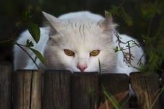 Dissimulation blanche de chat Photo stock