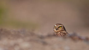Dissimulation creusant le hibou Photos stock