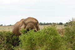 Dissimulation derrière les arbres - éléphant de Bush d'Africain Images libres de droits