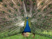 Dissolva la coda del pavone Fotografia Stock Libera da Diritti