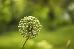 Dissolvenze del gigante della cipolla del fiore Testa del seme dell'allium Ombrelle fruttifere della cipolla di giganteum gigante Fotografia Stock